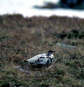 Fjällripa (Lagopus muta)