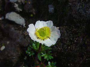 Isranunkel (Ranunculus glacialis)