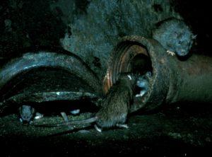 Brunråtta - Rattus norvegicus