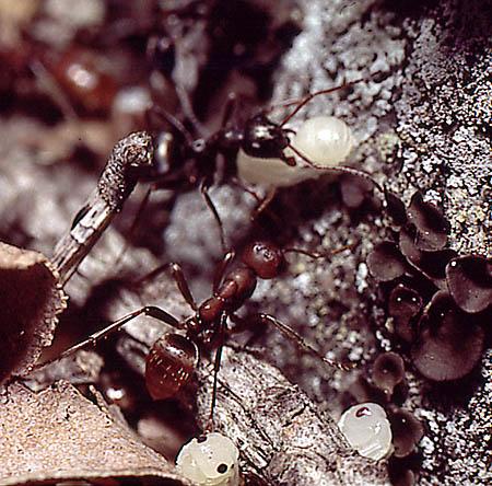 Amazonmyra (Polyergus rufescens)