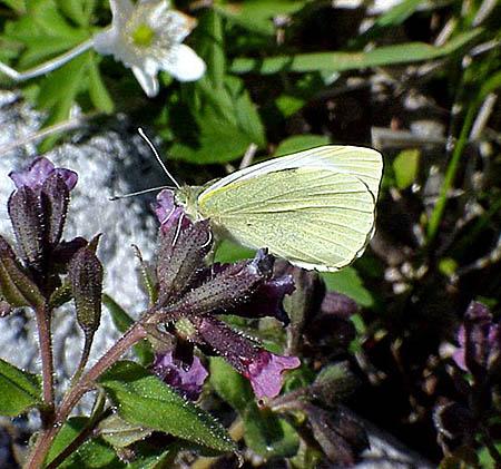 Kålfjärilen (Pieris brassicae)