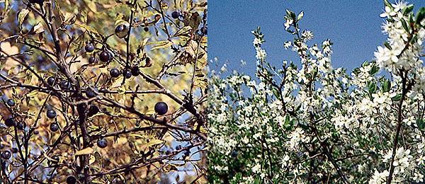 Slån eller slånbärsbuske (Prunus spinosa