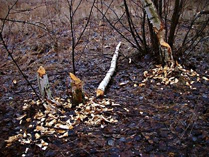 bäverträd