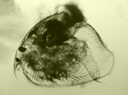 Chydorus sphaericus