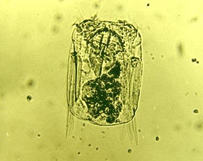 Polyarthra vulgaris