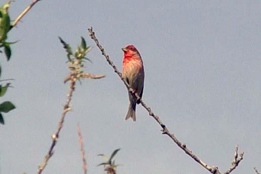Rosenfink (Carpodacus erythrinus)