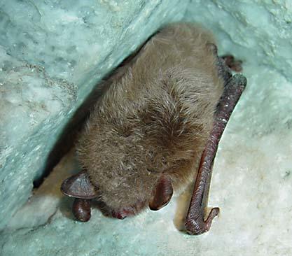Vattenfladdermus (Myotis daubentonii)