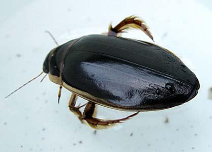 Dykare (Dytiscidae)