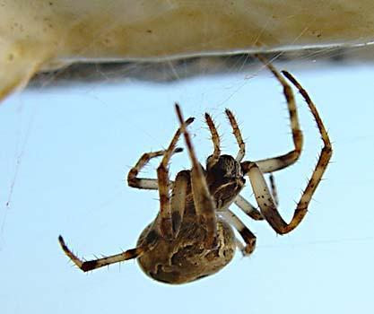 Brospindel (Larinioides sclopetarius)