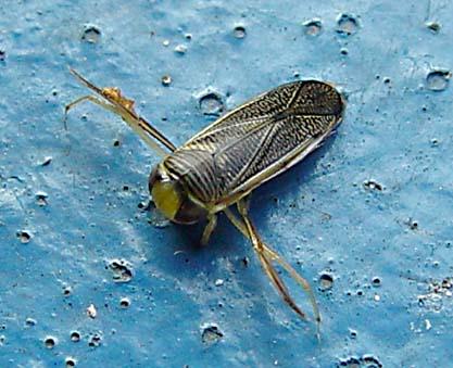 Buksimmare (Corixidae)