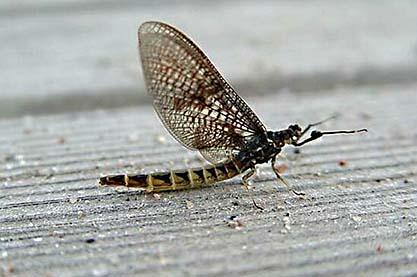 Sjösandslända (Ephemera vulgata)