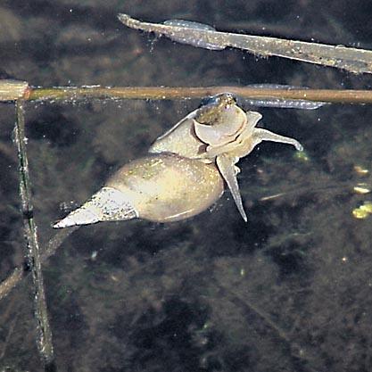 Stor dammsnäcka (Lymnaea stagnalis)