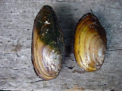 Större dammussla (Anodonta cygnea)