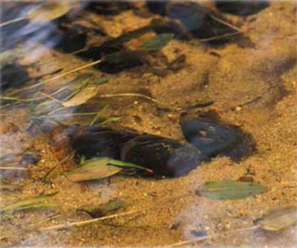 Flodpärlmussla (Margaritifera margaritifera)