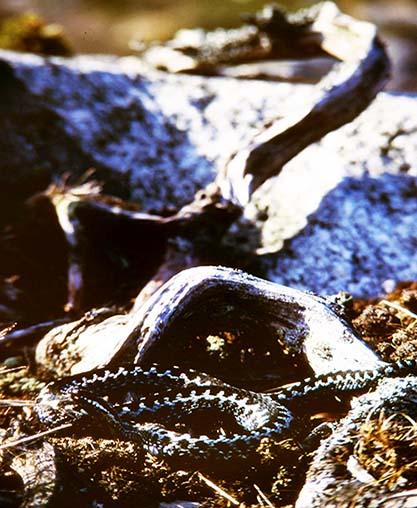 Huggorm - Vipera berus