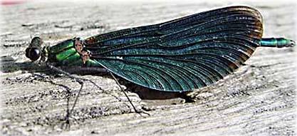 Blåbandad jungfruslända (Calopteryx splendens)