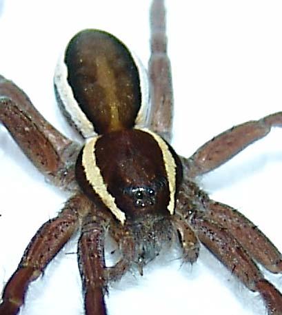 Kärrspindel (Dolomedes fimbriatus)