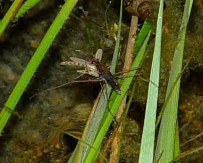 Skräddare (Gerridae)