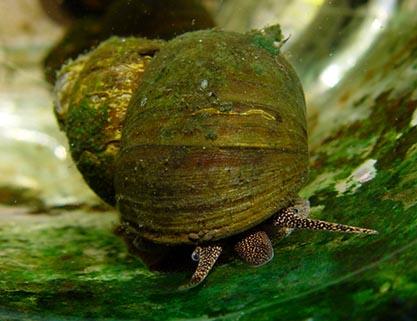 Trubbig sumpsnäcka (Viviparus viviparus)