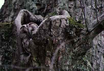Kattuggla (Strix aluco)