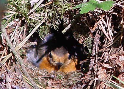 Rödhake (Erithacus rubecula)