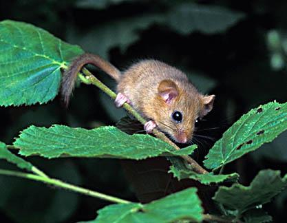 Hasselmus (Muscardinus avellanarius)