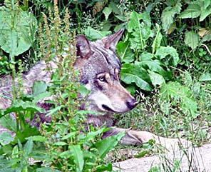Varg-Canis lupus