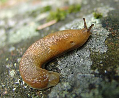Brun skogssnigel (Arion subfuscus)