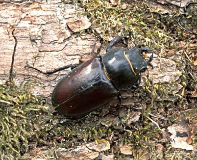 Ekoxe (Lucanus cervus)