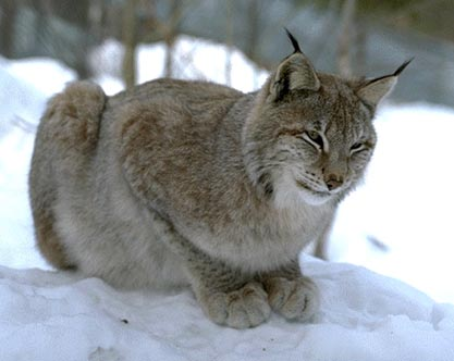 Lodjur - Lynx lynx