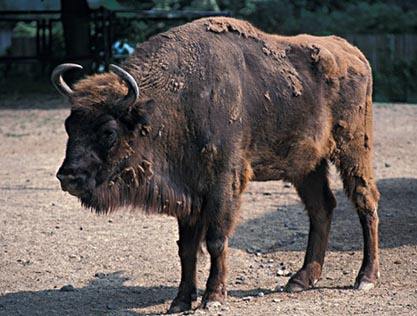 Visent - Bison bonasus
