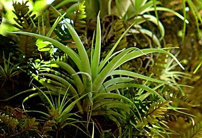 ananasväxt