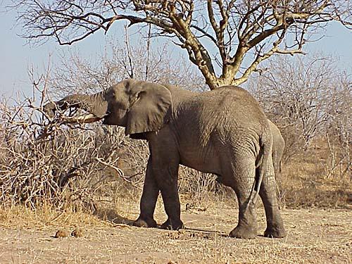 stäppelefant (Loxodonta africana)