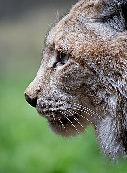 Lo-Lynx lynx