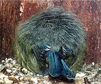 Blåmes (Cyanistes caeruleus)