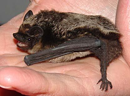 Gråskimlig fladdermus (Vespertilio murinus)