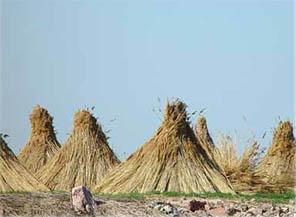 Bladvass, vass eller rörvass (Phragmites australis)