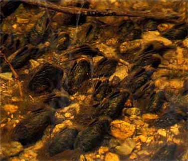 flodpärlmusslor