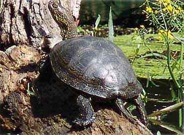 Kärrsköldpaddan (Emys orbicularis)