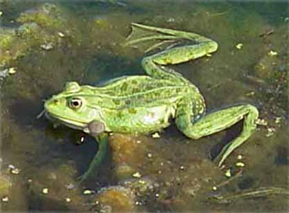 Sjögroda (Rana ridibunda)