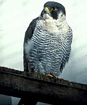 Pilgrimsfalk (Falco peregrinus)