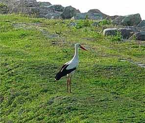 Vit stork (Ciconia ciconia)