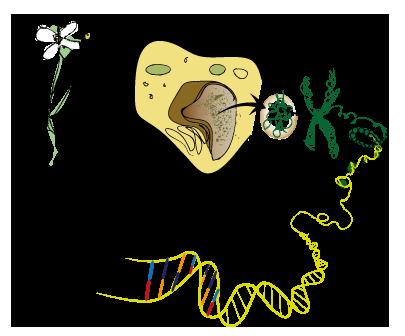 Hur genmodifierar man växter