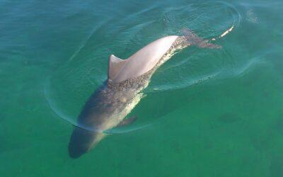 Visste du det här om Östersjöns tumlare?